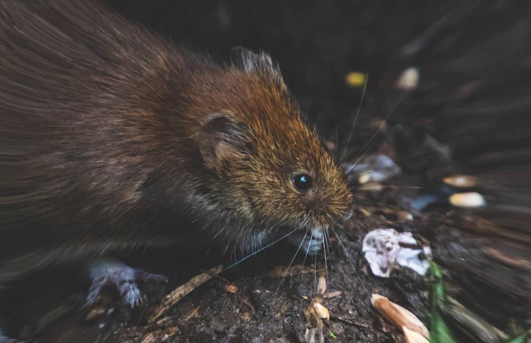 Les dangers que représentent les rats